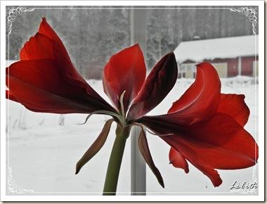 amaryllis med ram