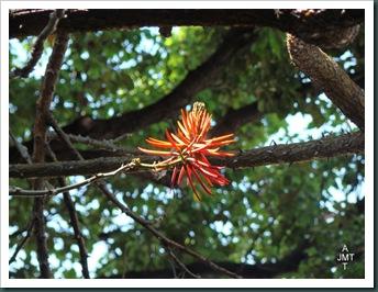 DSC03292-erythrina-speciosa-(erythrine) F fabaceae BW