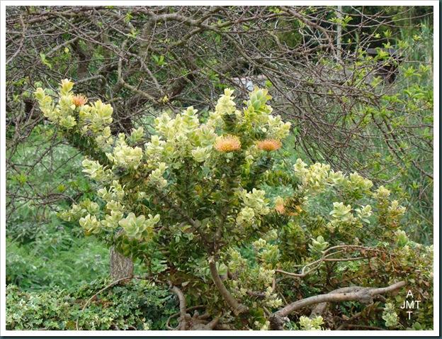 DSC03478-santana-leucospermum vlam cordifolium (pelote d'epingles) F proteaceae BW