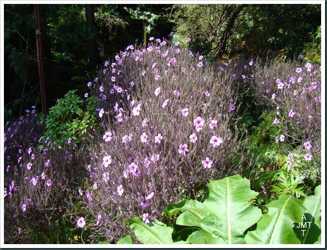 DSC03337-geranium-maderense (geranium de madere) F geraniaceae BW