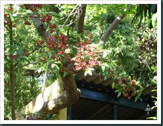 DSC05276W1-ochna-serrulata-multiflora (plante mickey ou oeil de pain) F ochnaceae BW