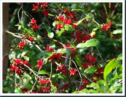 DSC03351-ochna-serrulata-multiflora (plante Mickey ou oeil de pain) F ochnaceae BW