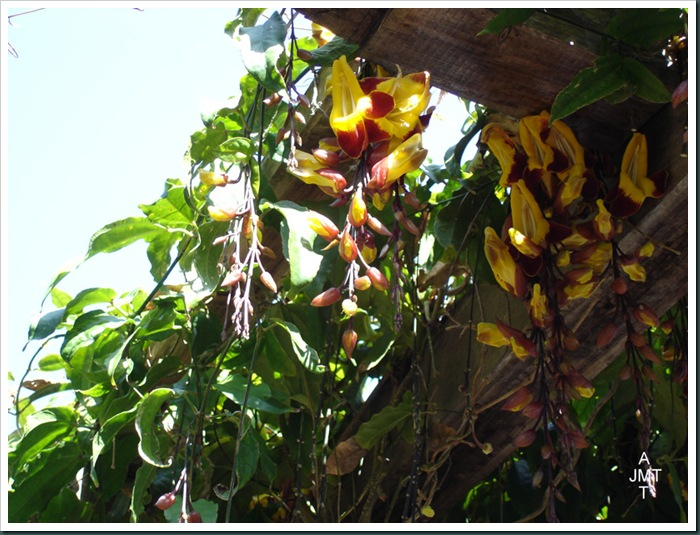 DSC05286W1-thunbergia-mysorensis (liane de myrose) F acanthaceae BW