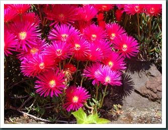 DSC03362-lampranthus-multiradiatus (ficoïde) F aizoaceae BW