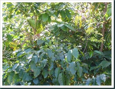 DSC05293W1-coffea-(cafeier) F rubiaceae BW