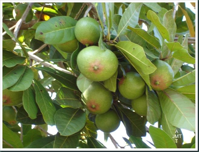 DSC05300W1-manilkara-zapota ou achras sapota (sapotillier) F sapotaceae BW
