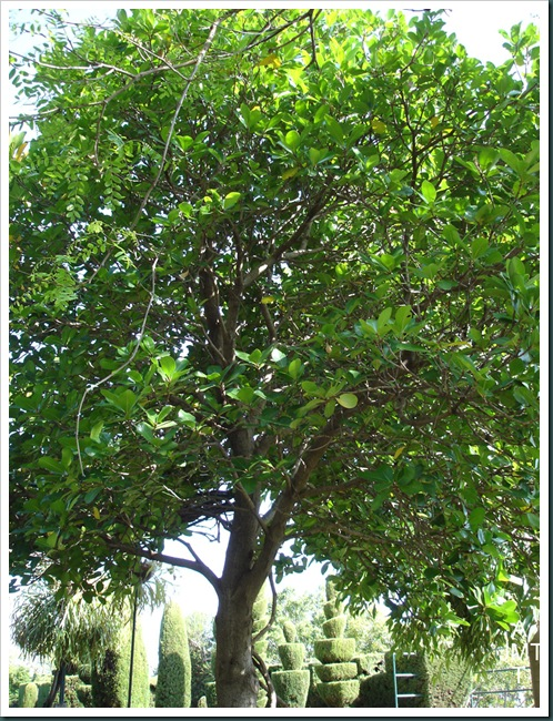 DSC05302W1-corynocarpus-laevigata BW