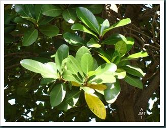 DSC05304W1-corynocarpus-laevigata BW