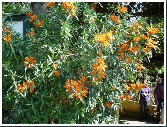 DSC05310W1-leonotis-leonorus (queue de lion) F lamiaceae BW