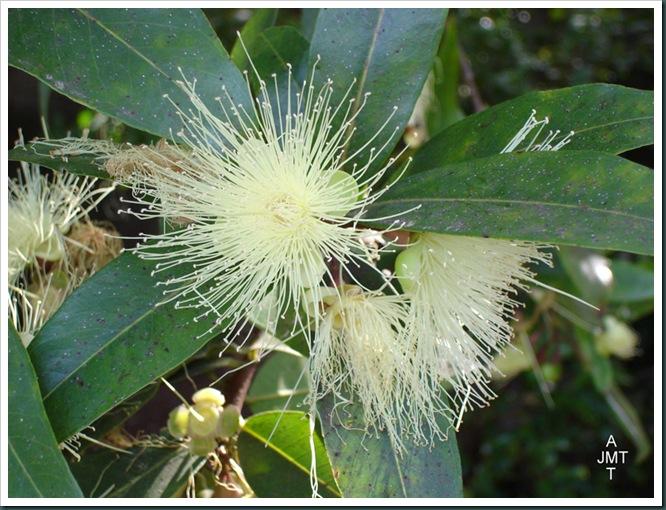 DSC05316W1-myrtus-communis-(myrte commun) F myrtaceae BW