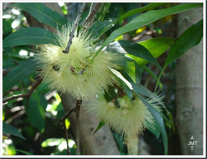 DSC03378-myrtus-communis-(myrte commun) F myrtaceae BW