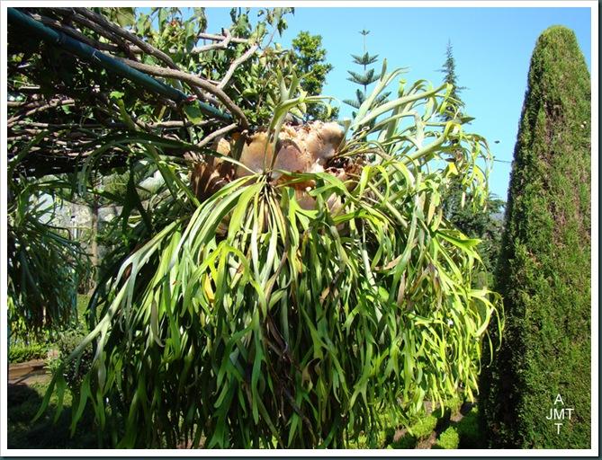 DSC03366-platycerium-bifurcatum (fougère corne de cerf) F polypodiaceae BW