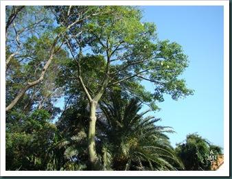 DSC03381ceiba-pentandra-(kapokier fromager) F bombacaceae BW