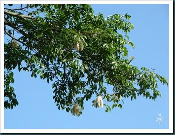 DSC03380-ceiba-pentandra-(kapokier fromager) F bombacaceae BW