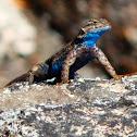 Sierra Fence Lizard (male)