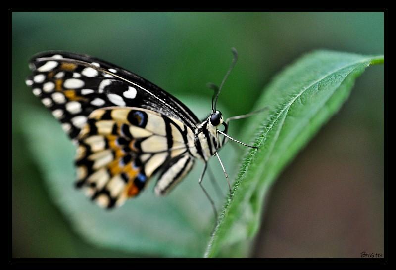 Map sur les yeux des papillons !? conseils... Papillon-111