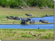 SriLanka-WaterBuffalos