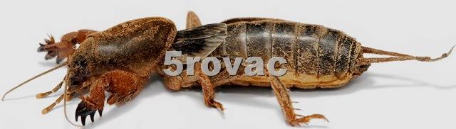 [Mole_cricket02Rovac45.jpg]