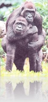 Gorila - rodácka pomoc
