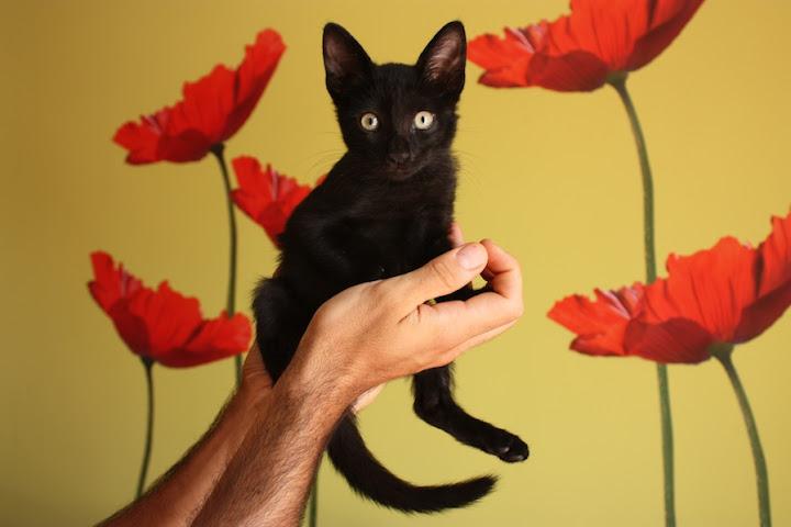 MITCHI,gatito de 2meses necesita adopcion urgente *ADOPTADO* Mitchi