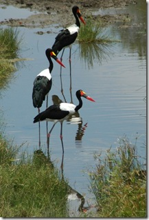 saddle-billed-storks