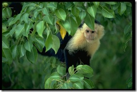 White-faced Monkey 485051