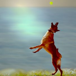 Dog's Beach Ball by Robin Amaral - Animals - Dogs Playing ( belgian malinois, jumping dog, sunset, waves, shoreline, ocean, beach, surf, dog, tennis ball,  )