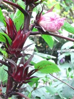 roselle plants