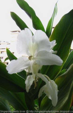 White Ginger flowers