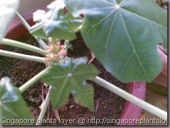 Gout-plant3
