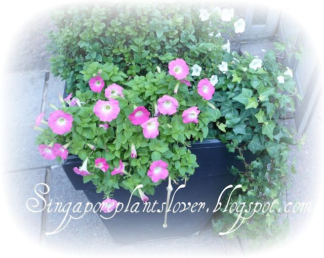 Petunia Flowers Pink