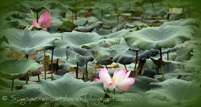 lotus pond at Ang Mo Kio Town Garden West