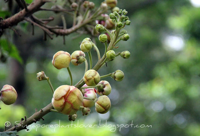 couroupita guianensis flower buds