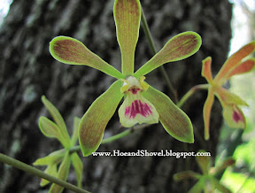 Florida Native Butterfly Orchid
