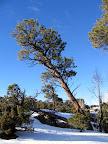 Ponderosa pine on Cedar Mountain