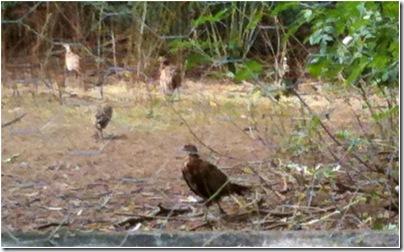 turkeys or velociraptors