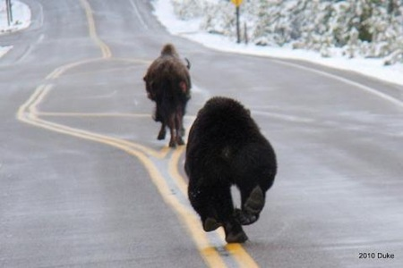 Bear Chasing Bison Down the Road 06