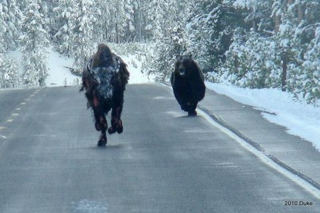Bear Chasing Bison Down the Road 01