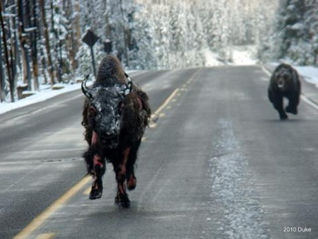Bear Chasing Bison Down the Road 03