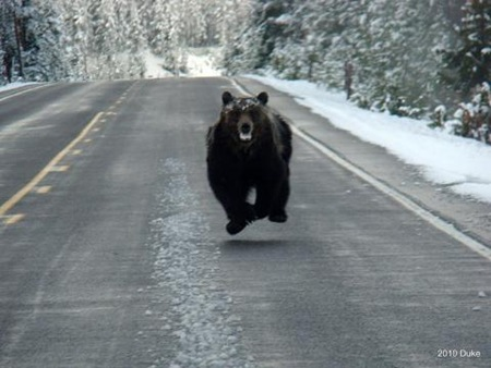 Bear Chasing Bison Down the Road 05
