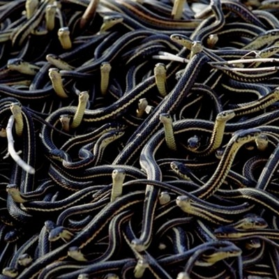 Red-sided Garter Snakes
