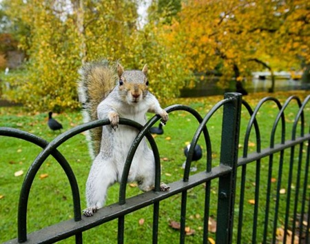 Grey Squirrel 01