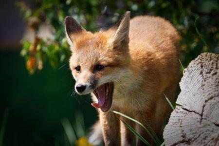 Red Fox 01
