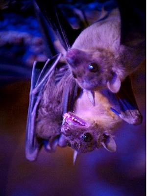 gal_super_bats