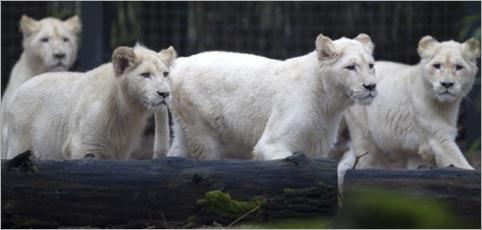white lion 08