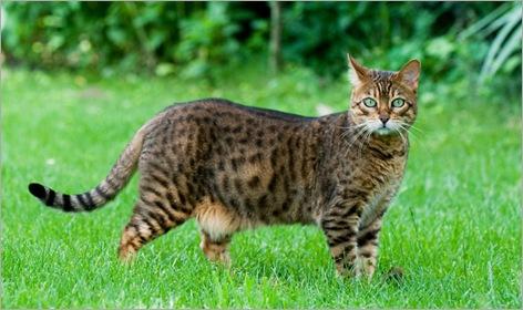 02-Bengal-Cat