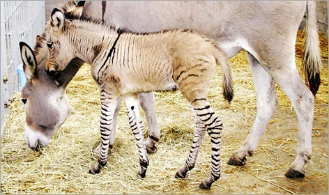 03-Zebroid