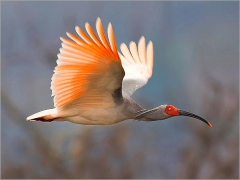 rare-birds-photo-contest-asian-crested-ibis