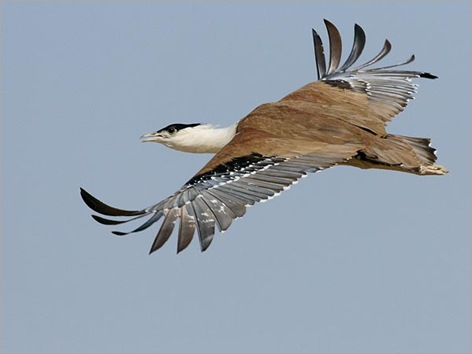 rare-birds-photo-contest-great-indian-bustard