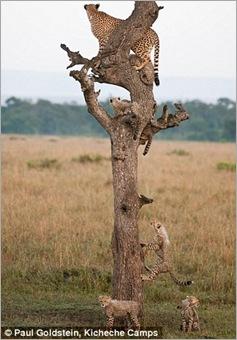 cheetah cubs 01